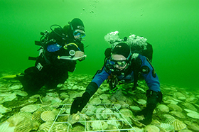 Glenmorangie Distillery recreates extinct Native Oyster reefs in the Dornoch Firth, an environmental first